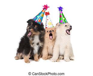 chapéus exaustivos, aniversário, filhotes cachorro, partido, cantando, feliz