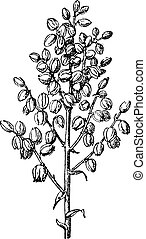Chaparral yucca or common yucca vintage engraving - Old...
