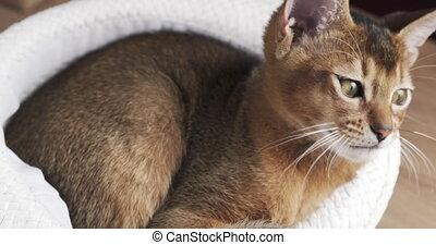 chapeau, abyssinian, chaton, somnolent, blanc