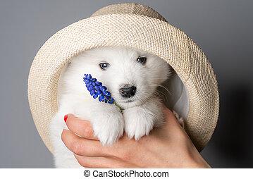 chapeau, samoyed, chiot, grand plan, regarder, portrait, appareil photo, bleu, tient, fleur, mignon