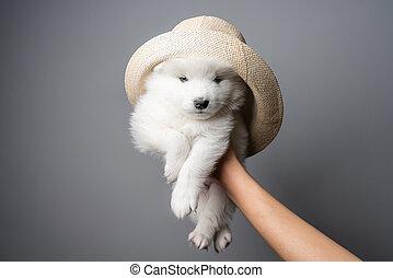 chapeau, samoyed, fond, gris, chiot, isolé, blanc, magnifique