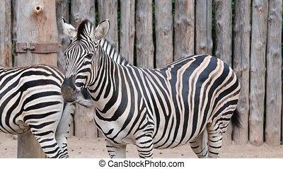 Chapman's Zebra. Geographic Range: all habitats in Africa ...