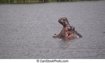 Characteristic Hippo Yawn Slowmotion 120fps. Hippopotamus Amphibius in Grumeti River, Serengeti National Park Tanzania