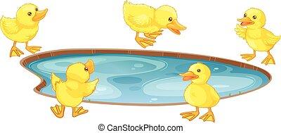 charca, cinco, patos, poco, alrededor