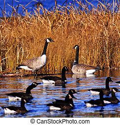 charca, gansos, varios, pantano, canadiense