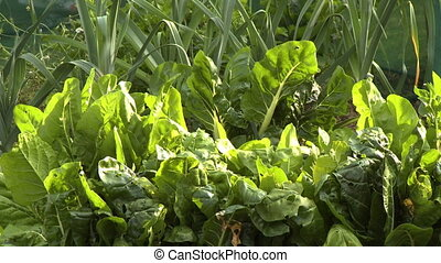 Chard Leaves and Stalks - Steady, medium close up shot of...