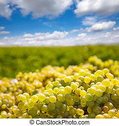 chardonnay, colher, com, uvas vinho, colheita