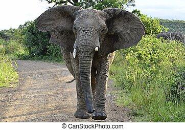 Charging Elephant - Charging Elephant in Hluhluwe-Umfolozi...