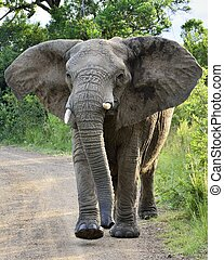 Charging Elephant in Hluhluwe-Umfolozi Game Reserve, South...