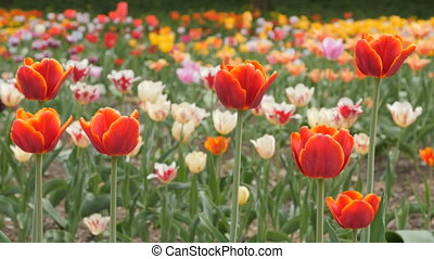 chariot, closeup, -, coup, fleurir, glisseur, tulipes, rouges
