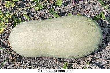 Charleston Gray watermelon - Charleston Gray ripe watermelon...