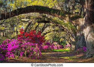 charleston, sc, forår, blokken, azalea, blomster, syd...
