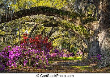 charleston, sc, lente, bloem, azalea, bloemen, zuidelijke carolina, plantatie, tuin, onder, leven, eiken, en, spaans mos