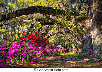 Charleston SC Spring Bloom Azalea Flowers South Carolina Plantation Garden under live oaks and spanish moss