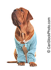 Charming big dog wearing blue jacket
