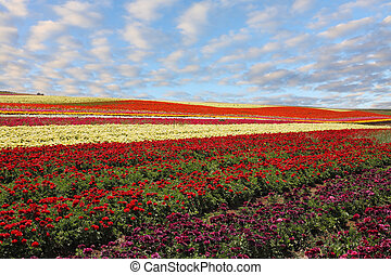 Field of red and yellow blooming buttercups