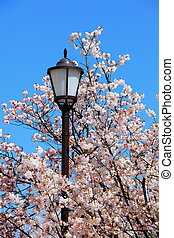 charming cherry blossoms with street light and blue sky