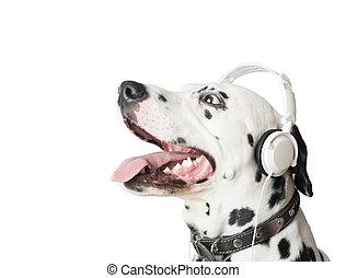 Charming dalmatian dog in headphones and collar.