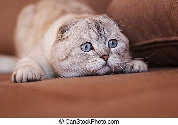 Light gray cat face. Charming female segender of Scottish breed in animal husbandry. Cute cat with light blue eyes.