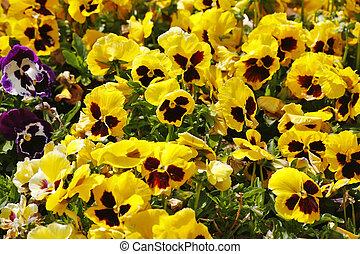 """Charming field flowers """"pansies"""""""