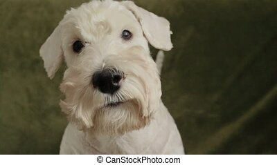 charming white dog terrier