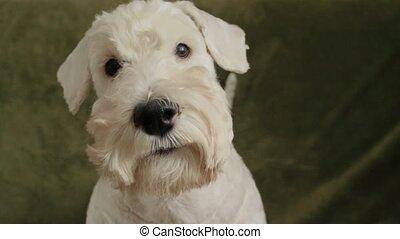 charming white dog terrier