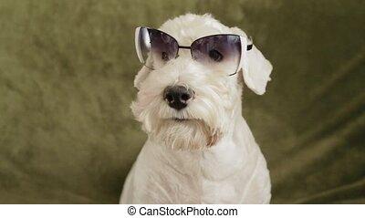 charming white dog terrier - charming white dog breed...