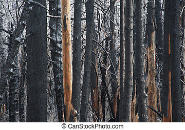 Charred forest - Charred and blackened forest after a fire ...