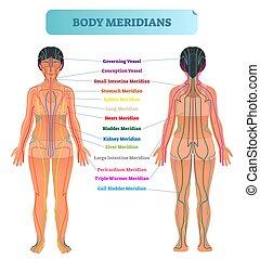 chart., vecteur, méridien, système, corps, acupuncture, énergie, illustration, chinois, thérapie, plan, diagramme