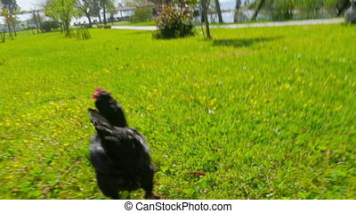 """""""chasing chicken cock outdoor, funny running following"""""""
