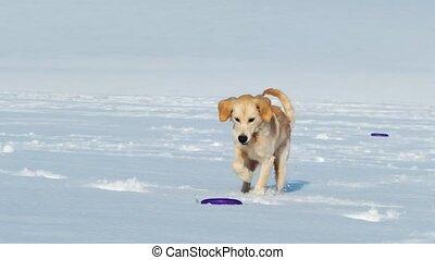 chasser, anneau, rigolote, chien jouet