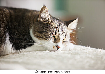 chat endormi, sur, moquette