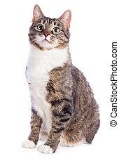chat, européen