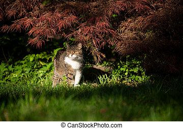 chat, jardin, shorthair, ensoleillé