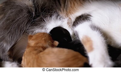 chat, kittens., prend, chatons, maman, alimentation, drapeau...