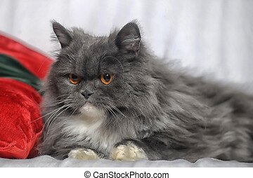 chat orange, pelucheux, yeux, blanc gris