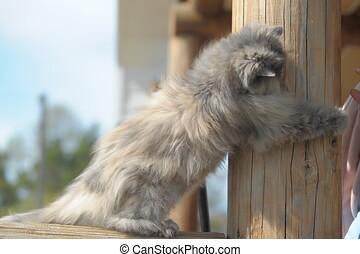 chat persan, gris