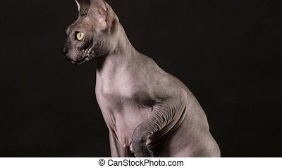 chat, regarde, sphinx, canadien, arrière-plan noir, autour de