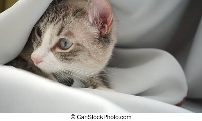 chat, siamois, lynx, loucher, regarder, rideau, somnolent, ...