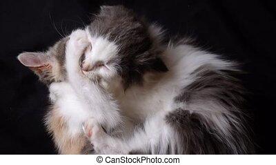 chaton, adorable, jouer, fond, ensemble, noir