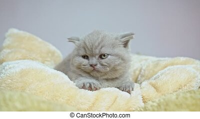 chaton, britannique, blanket., lop-eared, s'endormir, ...