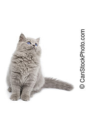 chaton, britannique, haut, isolé, regarder