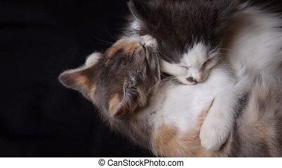 chaton, chaque, adorable, jouer, autre, fond, lécher, noir