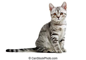 chaton gris, britannique