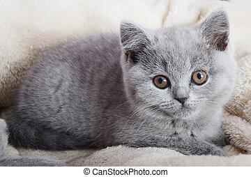 chaton gris, britannique, reposer