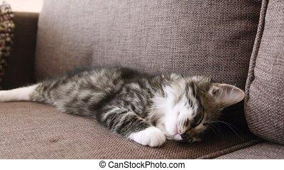 chaton, sommeils, divan