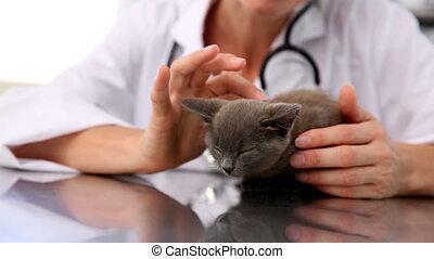 chaton, vérification, vétérinaire, gris