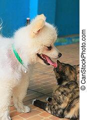 chats, chiens, pomeranian