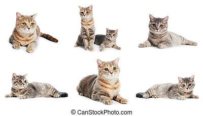 chats, ensemble, isolé, britannique, shorthair