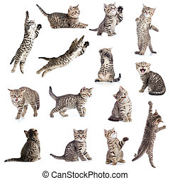 chats, ou, chatons, isolé, collection